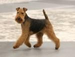 Welsh Terrier Dog Photos