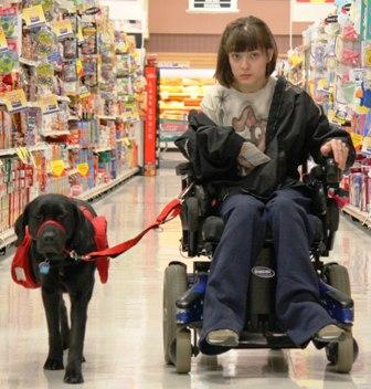 Labrador Retriever a Service dog