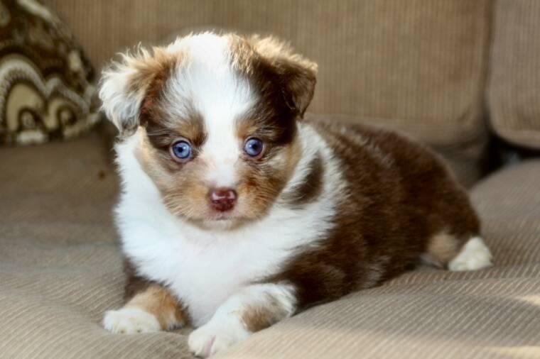 Australian Shepherd Puppies - Doglers