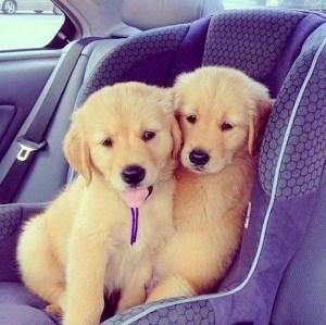 Cute Golden Retriever Twin Puppies