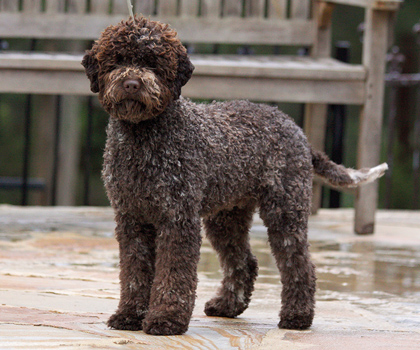 Image result for lagotto romagnolo