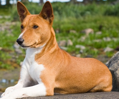 Basenji Club of NSW Inc  - Dog Lovers Show Sydney