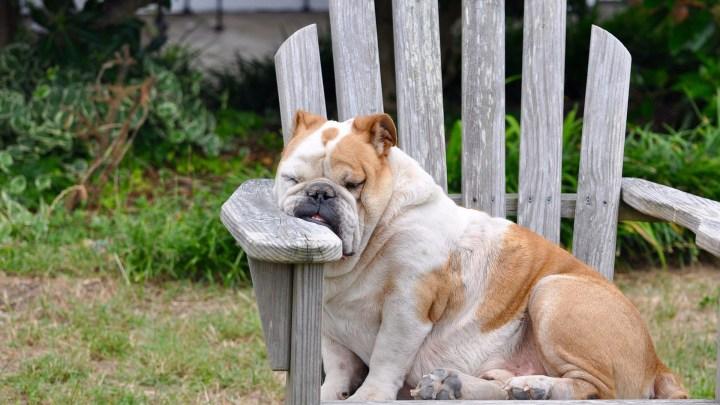 perro relajado_dogminancia