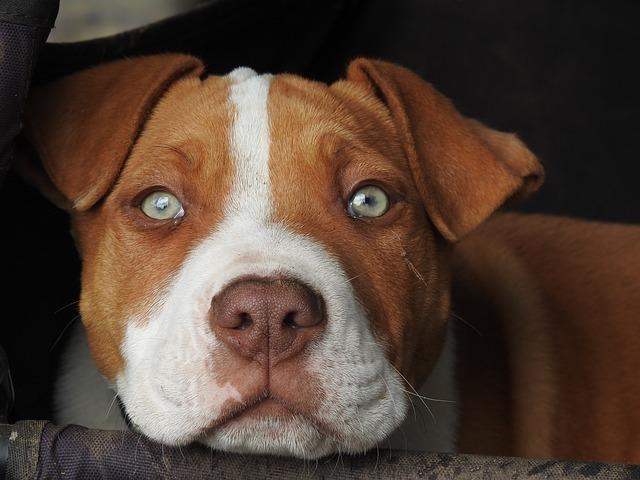 dogminancia-genética perros