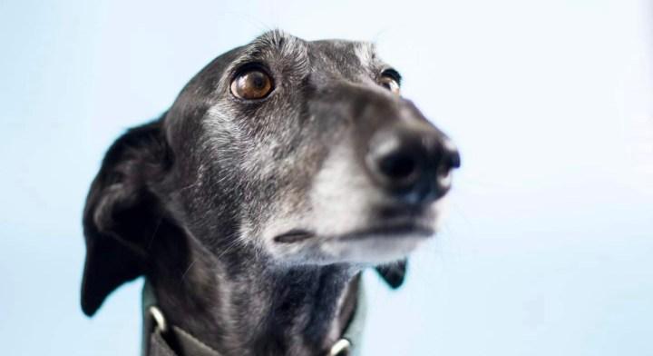 observar perros-dogminancia