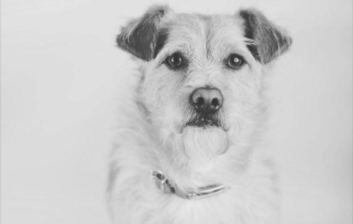semántica y perros-dogminancia