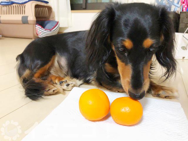 【保存版】犬はみかんを食べても大丈夫【上皮と種はNG、量に注意】