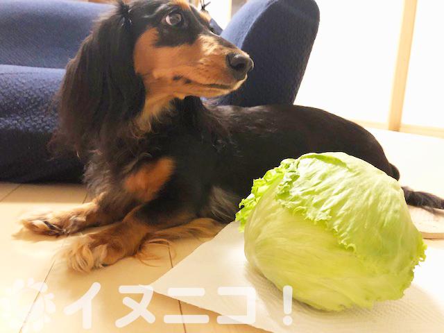 【保存版】犬はレタスを食べても大丈夫【生でもOK、芯も栄養満点】