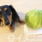 【保存版】犬はキャベツを食べても大丈夫【生でもOK、芯も栄養満点】