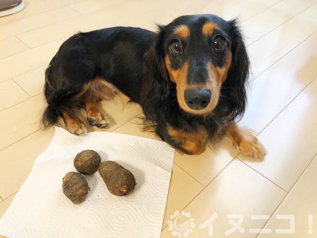 【保存版】犬は里芋を食べても大丈夫です【生はNGで中毒の危険あり】