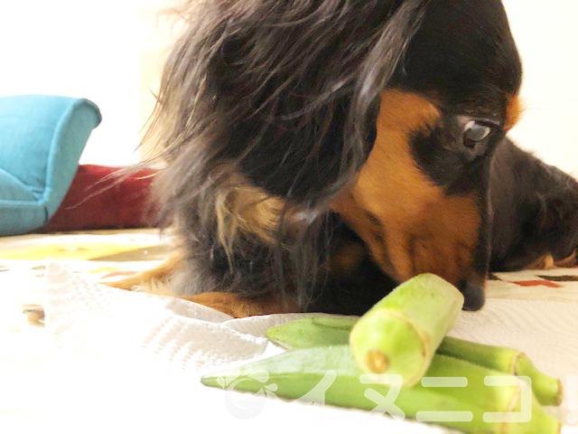 【結論】犬はオクラを食べても大丈夫です【生、皮、種OK、ヘタはNG】