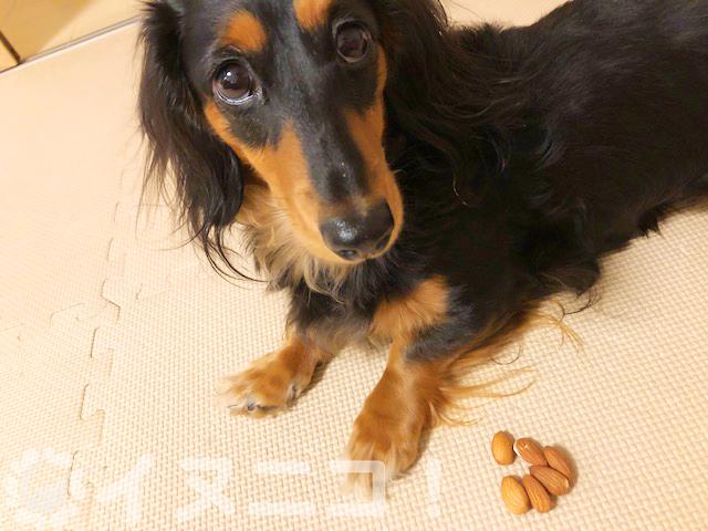 【結論】犬はアーモンドを食べても大丈夫【アーモンドチョコはNG】