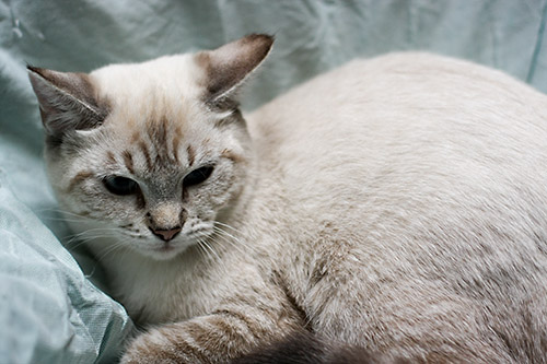 Janice Siamese Humane Society Of Dallas County