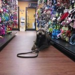 Bear obedience practice in Memphis pet store