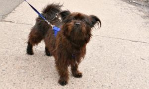 This is a Brussels Griffon Affenpinscher mix breed dog that is called an Affen-griffon hybrid dog