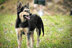This is a German Shepherd and Australian Shepherd mix breed dog that is called a German Australian Shepherd hybrid.