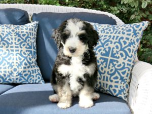 This is a Poodle and Bernese Mountain Dog mix breed that is called a Bernese Mountain Poo or Bernedoodle hybrid dog.
