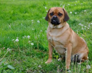 This is a Pug Beagle mix breed dog that is called a Puggle hybrid dog.