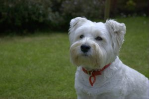 This is a Westie and Scottish Terrier mix breed dog that is called a Scoland Terrier hybrid