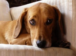 This is a Beagle Dachshund mix hybrid dog that is called a Doxle dog.