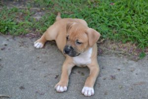 This is a Boxer and Bulldog mix breed dog called a Bullboxer hybrid dog.
