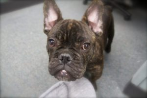 This is a French Bulldog English Bulldog mix - an American French Bulldog hybrid.