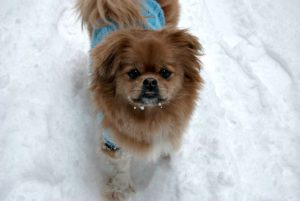 This is a Japanese Chin and Pekingese mix breed dog that is called a Japeke hybrid.