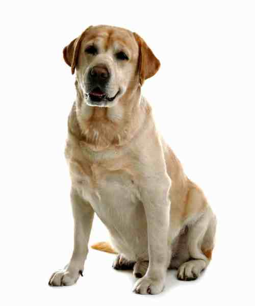 Labrador Retriever: Easy to train dogs that are good for first-time owners