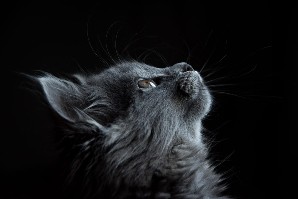 Grey kitten staring at the sky
