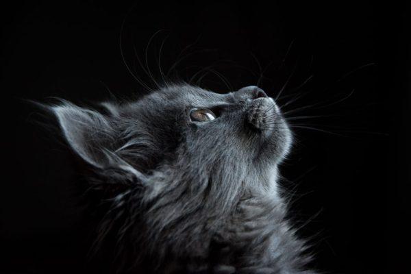 Grey kitten staring at the sky