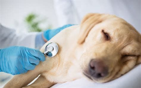 Pet and Dog Emergencies During the Pandemic