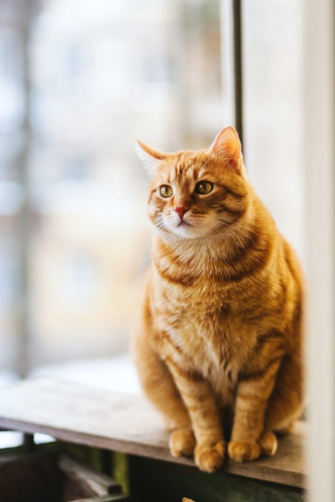 how your cat can lose weight