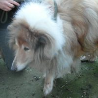 Poor Ricky - 8 Year old Rough Collie