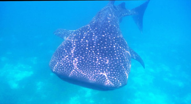 oslob-whale-sharks-16_moment