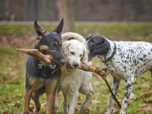 3 dogs and a stick