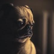 Bad-Breath-Dog-Teeth-Halitosis-Help-Tips