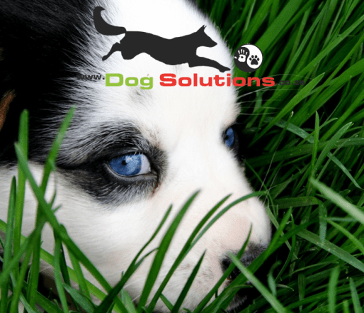 Blue eyed pup in grass with Dog Solutions logo