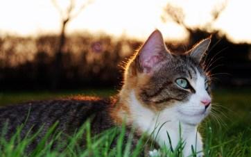 Cat-Lying-On-Grass
