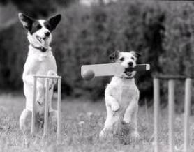 Dog Cricket
