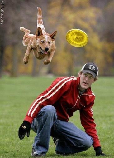 Australian Cattle Dog catching frisbee