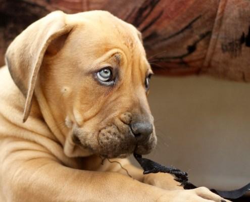boerboel-puppy