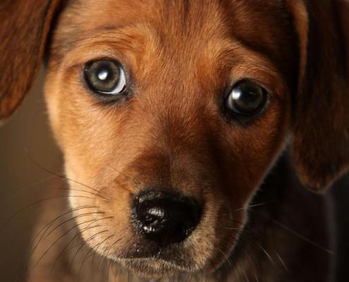 Brown puppy face