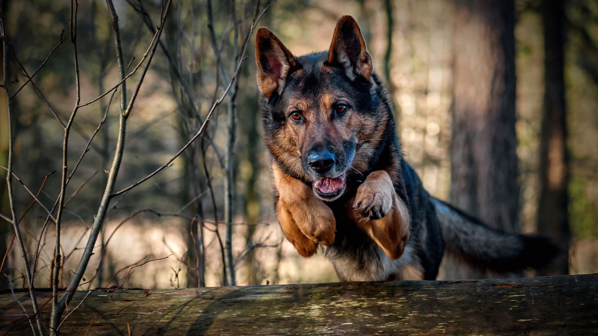 gsd jumping over log