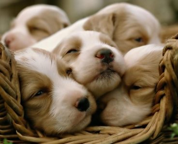 puppies-in-basket