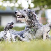 wolfhound-twins