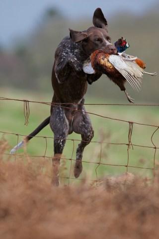 GSP catching a bird