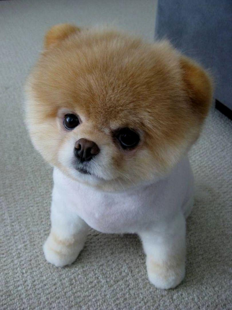 Yes that's a real puppy, a Pomeranian