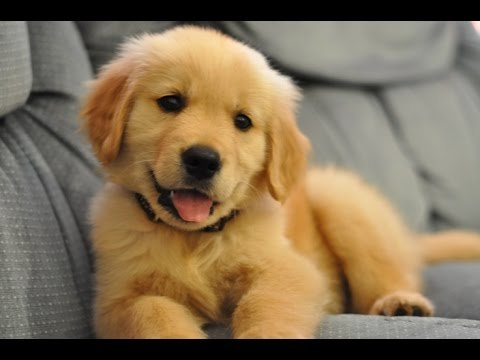 Top 10 Cutest Puppy Breeds 2019 6