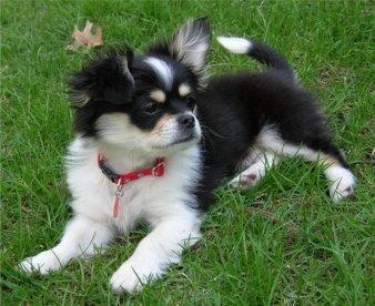 Cheeks dog breed