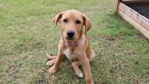10 Popular Mixed-Breed Dogs (Hybrids) 1